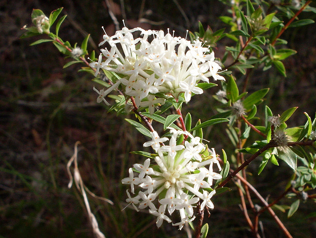 slender rice flower australian bush essence